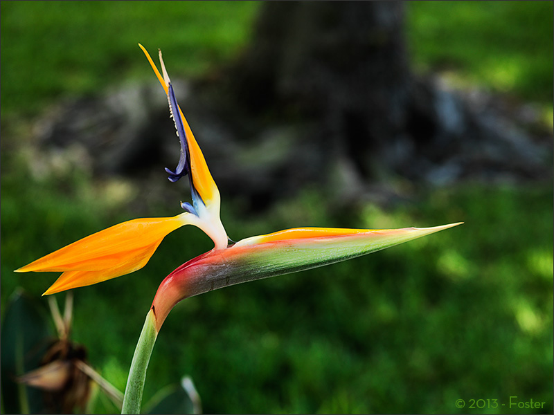 Bird of Paradise is the common name for the Strelitzia, a genus of five species of perennial plants, native to South Africa, and is featured on the reverse of their 50 cent coin.
